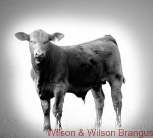 Texas Brangus Cattle